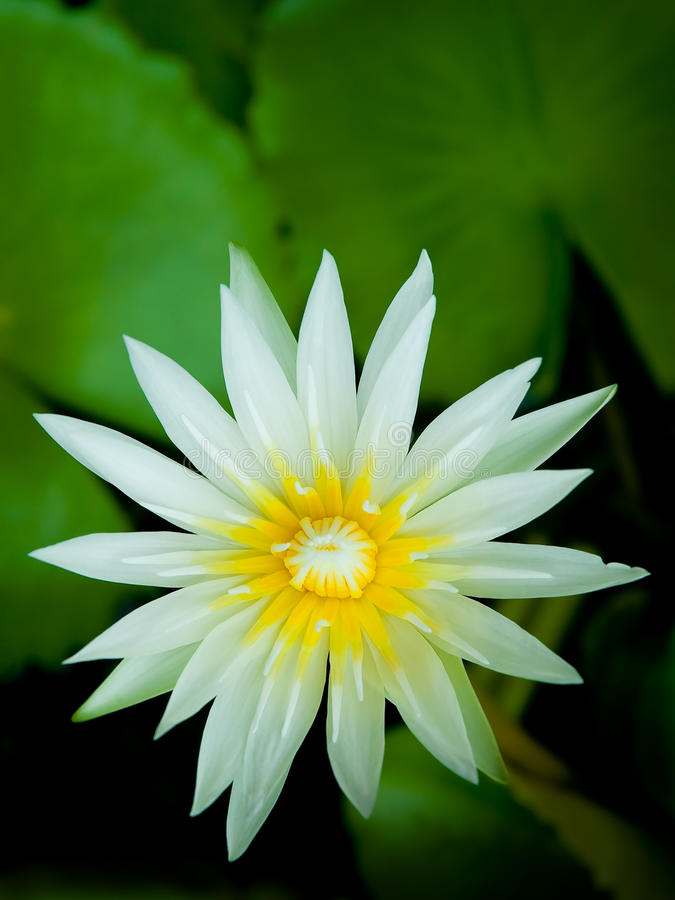 Beautiful lotus. A beautiful white lotus flower in thailand royalty free stock photos