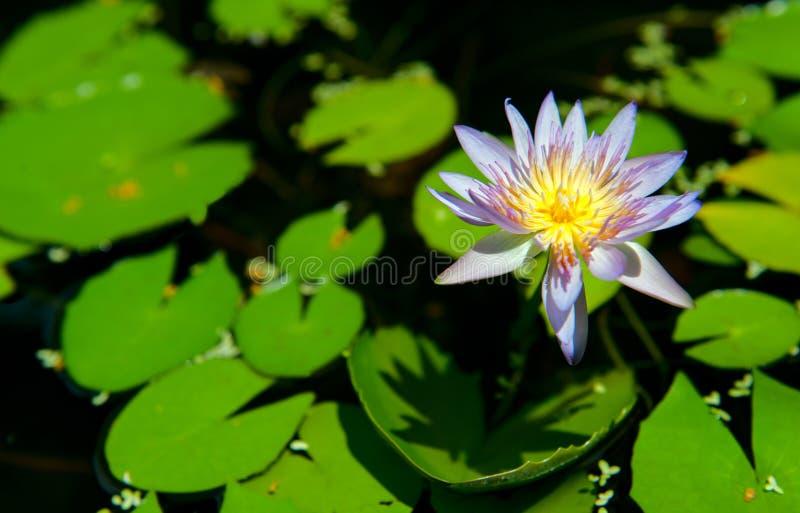 Download Beautiful Lotus stock image. Image of meditation, leaf - 20760255