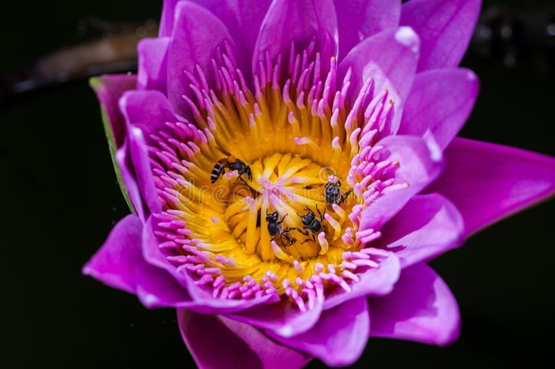 Beautiful Lotus with bee. Animal, background, beauty, bloom, blooming, blossom, closeup, eat, elegance, flora, floral, flower, garden, leaf, lily, macro royalty free stock photos