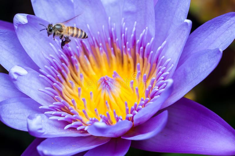 Beautiful Lotus with bee. Animal, background, beauty, bloom, blooming, blossom, closeup, eat, elegance, flora, floral, flower, garden, leaf, lily, macro stock photography