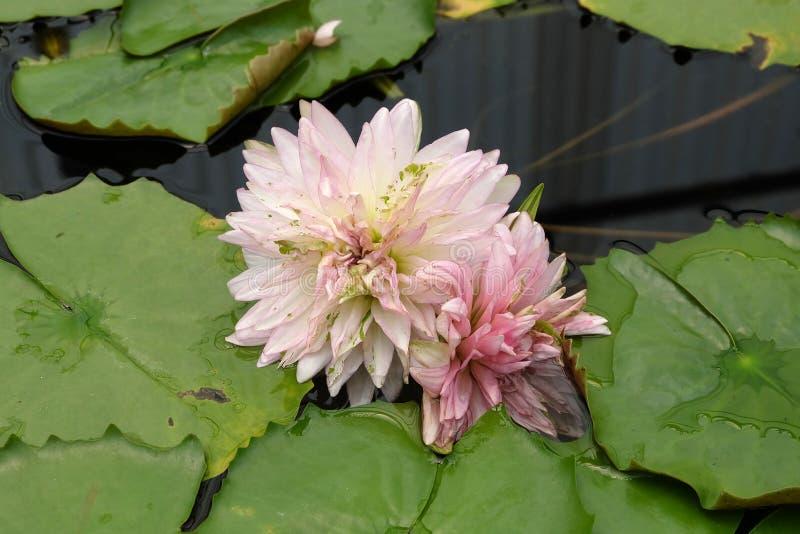 Beautiful lotus blooming of natural stock images