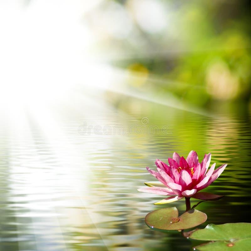Beautiful Lotus Flower Background Stock Photo