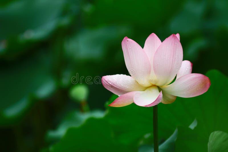 Beautiful lotus flower in blooming at pond stock image image of download beautiful lotus flower in blooming at pond stock image image of landscape peace mightylinksfo
