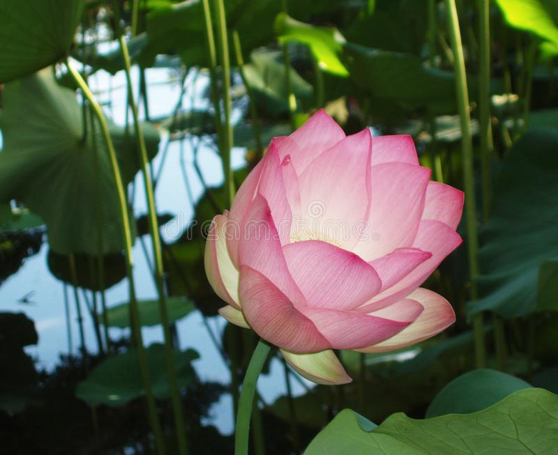 A beautiful Lotus flower floating above the water royalty free stock image