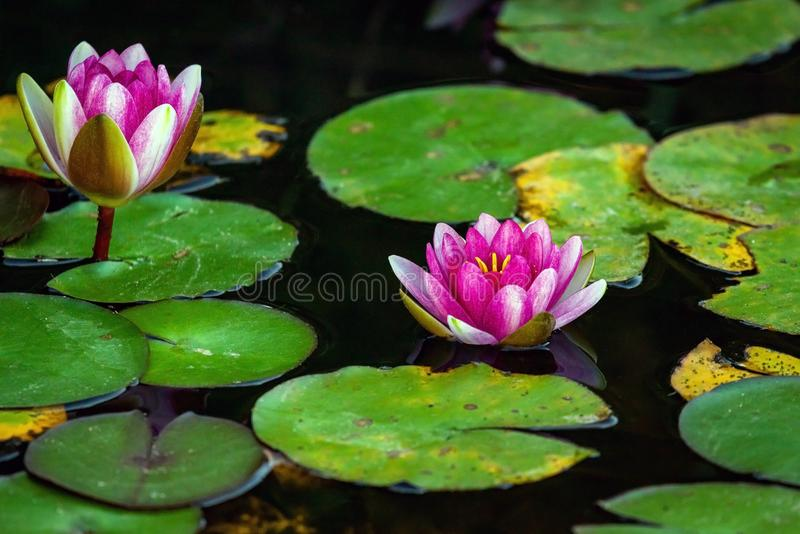 A beautiful Lotus flower floating above the water. Waterlily in garden pond royalty free stock photography