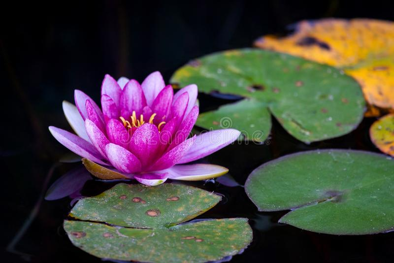 A beautiful Lotus flower floating above the water. Waterlily in garden pond royalty free stock image