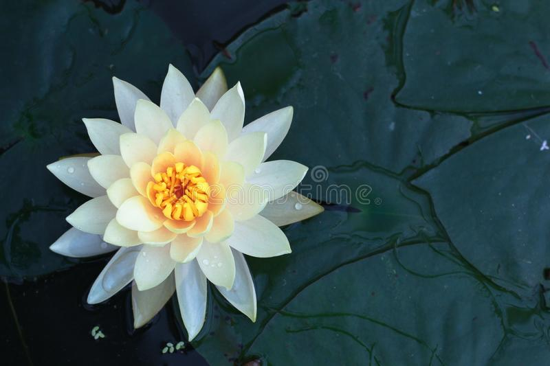 Beautiful Lotus flower in pond stock photo