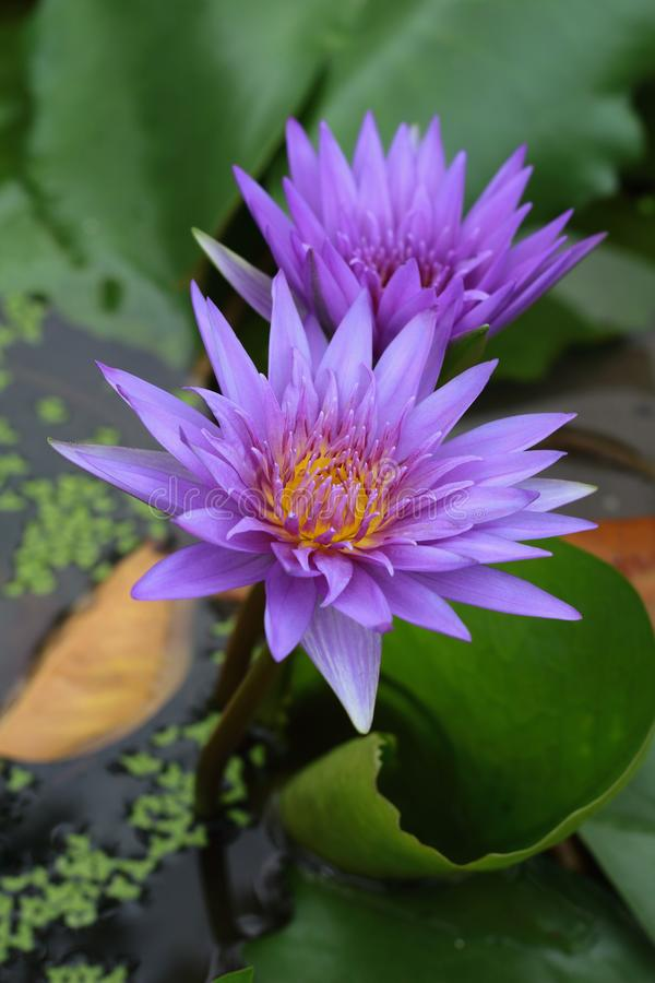 Beautiful lotus flower in pond. stock photography
