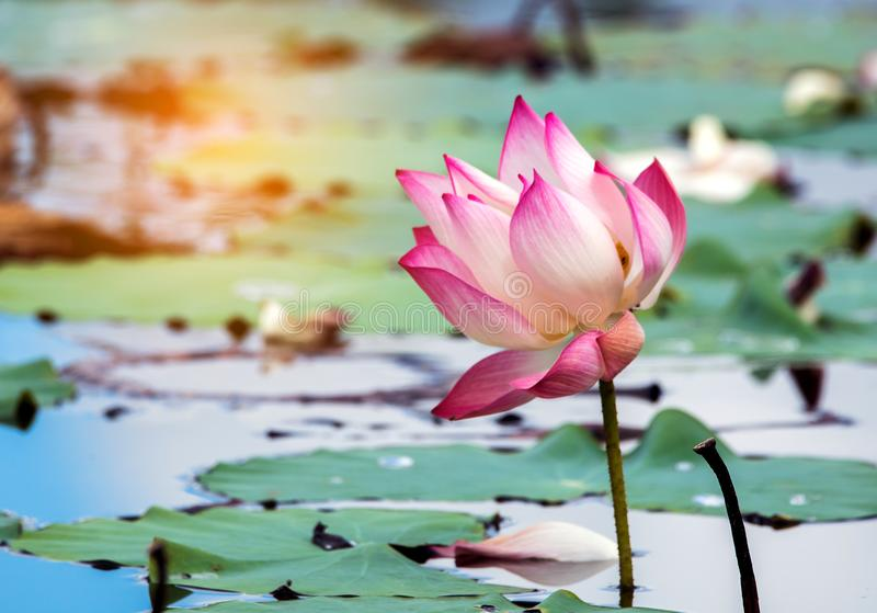 Beautiful lotus flower is the symbol of the buddha thailand stock download beautiful lotus flower is the symbol of the buddha thailand stock photo mightylinksfo Choice Image