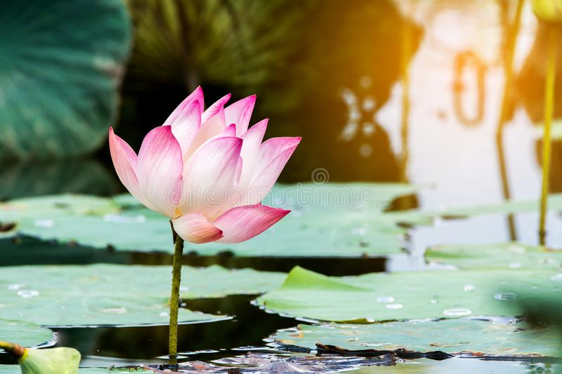 Beautiful lotus flower is the symbol of the buddha thailand stock download beautiful lotus flower is the symbol of the buddha thailand stock image mightylinksfo Choice Image