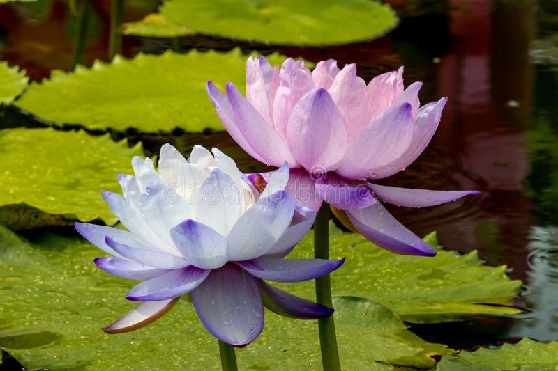 Beautiful lotus flower is the symbol of the buddha thailand stock download beautiful lotus flower is the symbol of the buddha thailand stock photo mightylinksfo