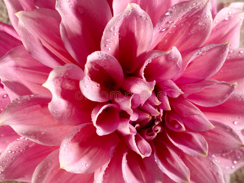 Beautiful Lotus Flower With Water Drops Royalty Free Stock Photo