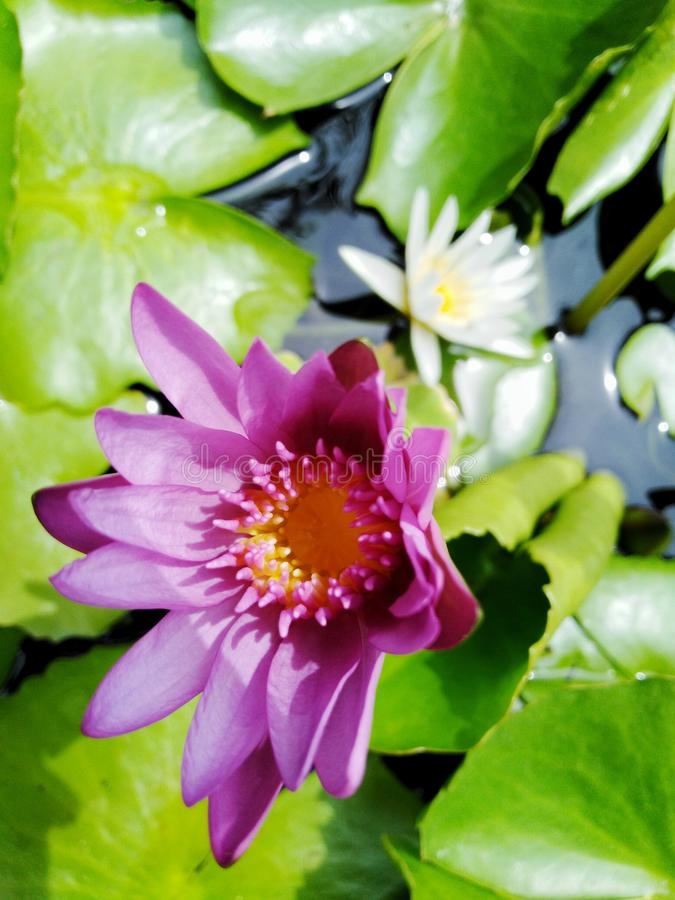 Beautiful lotus flowers in the pool royalty free stock photos