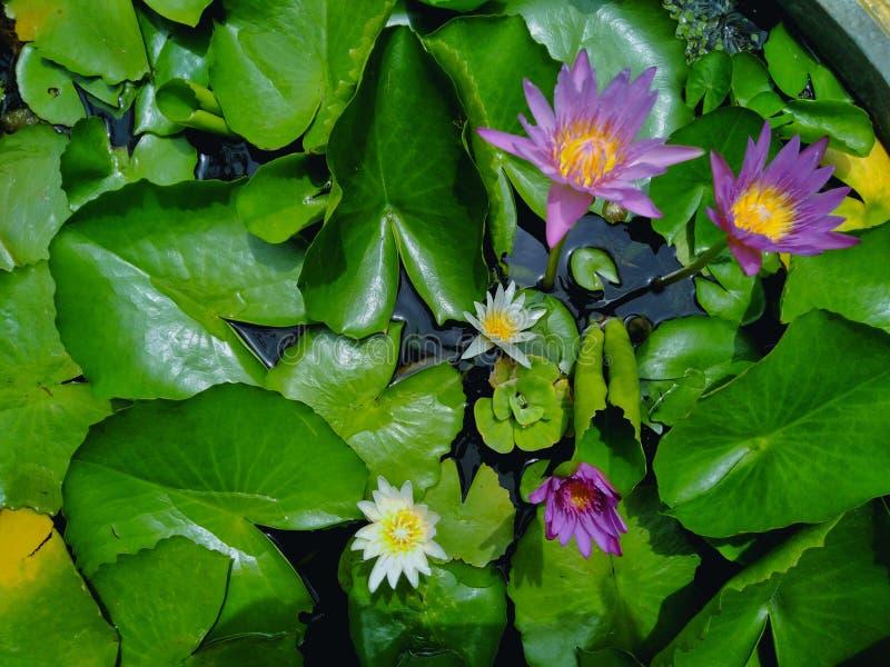 Beautiful lotus flowers in the pool stock image