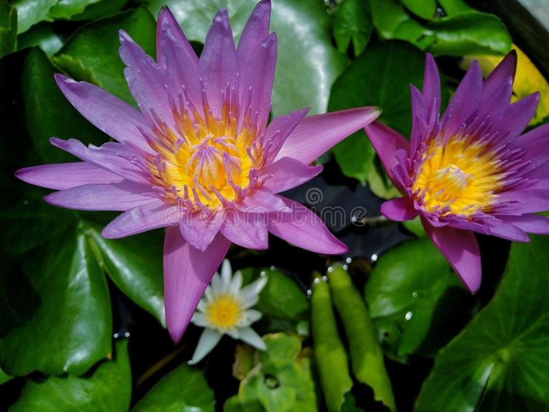 Beautiful lotus flowers in the pool stock images
