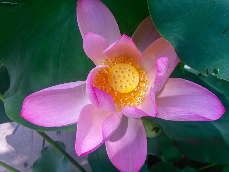 The beautiful lotus of honghu park. One of the characteristics of honghu park is the lotus flower. This one is in full bloom. The petals are pink and are stock image