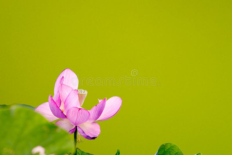 Beautiful Lotus With Nice Green Background Royalty Free Stock Images