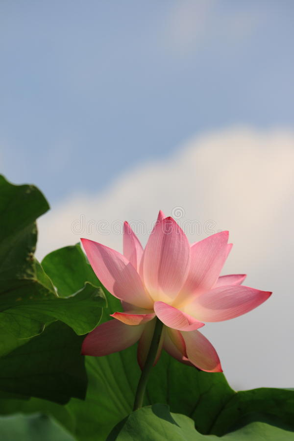 The beautiful lotus under the blue sky royalty free stock image