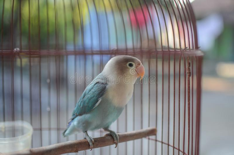 Beautiful lovebird  in the cage. A lovebird is the common name of Agapornis. They are small birds. Their average lifespan is 10 to 15 years royalty free stock images