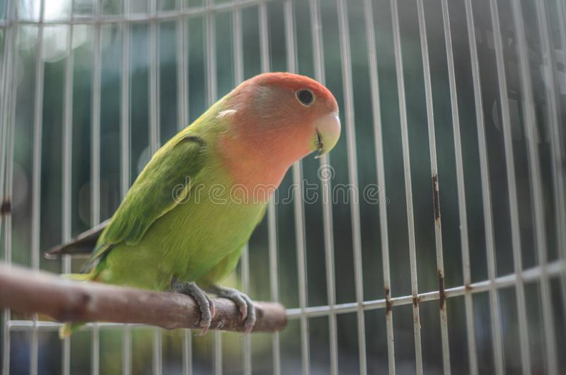 Beautiful lovebird  in the cage. A lovebird is the common name of Agapornis. They are small birds. Their average lifespan is 10 to 15 years royalty free stock photography