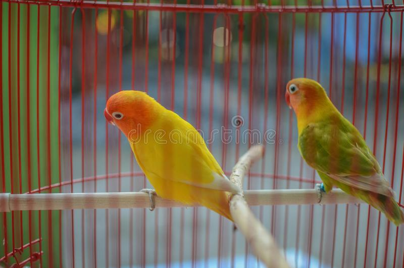 Beautiful lovebird  in the cage. A lovebird is the common name of Agapornis. They are small birds. Their average lifespan is 10 to 15 years stock photos