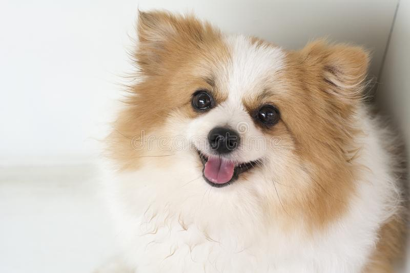 Beautiful and lovely dogs,white and brown furry Pomeranian royalty free stock photos