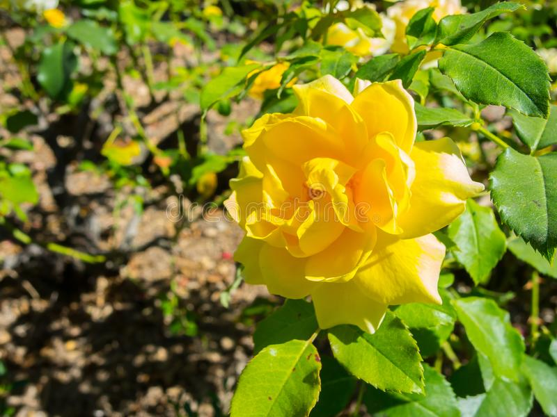 Lovely yellow petal of rose flower in spring season at a botanical garden. A Beautiful Lovely yellow petal of rose flower is a woody perennial flowering plant royalty free stock images