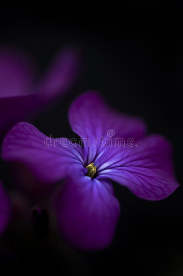 Beautiful low key image of Honesty flower stock images