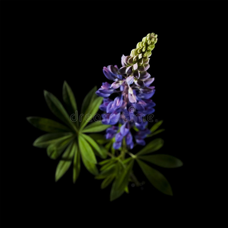 Beautiful lupine flowers royalty free stock images