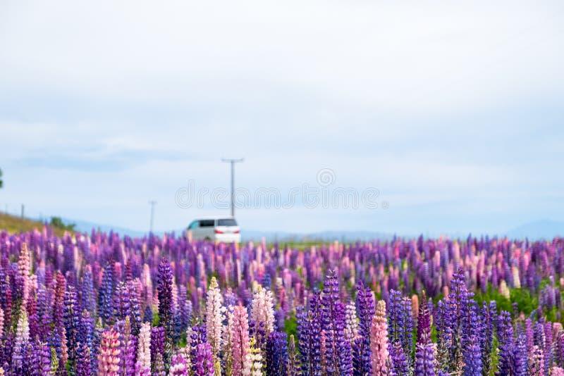 Beautiful Lupins flower around Lake Tekapo area, New Zealand stock images