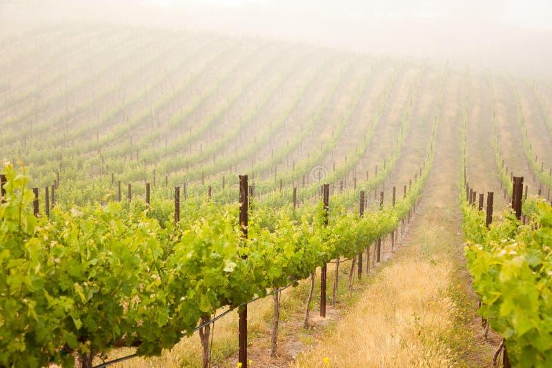 Beautiful Lush Grape Vineyard stock photo
