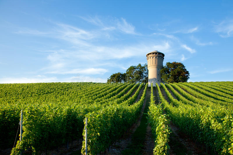 Beautiful lush, green vineyard stock photography