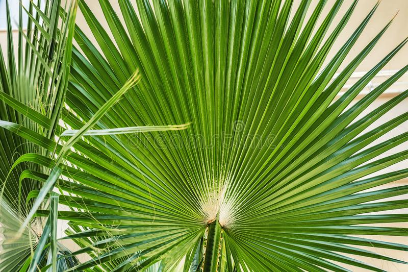 Beautiful lush palm branch. Wide corrugated sheet. Close-up royalty free stock images