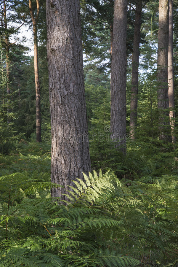 Beautiful lush vibrant forest landscape in Summer stock photography