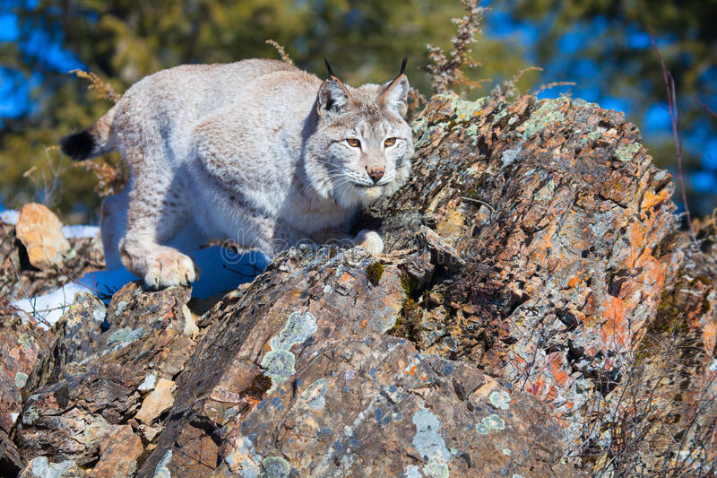 A beautiful lynx fixing to leap on prey royalty free stock image