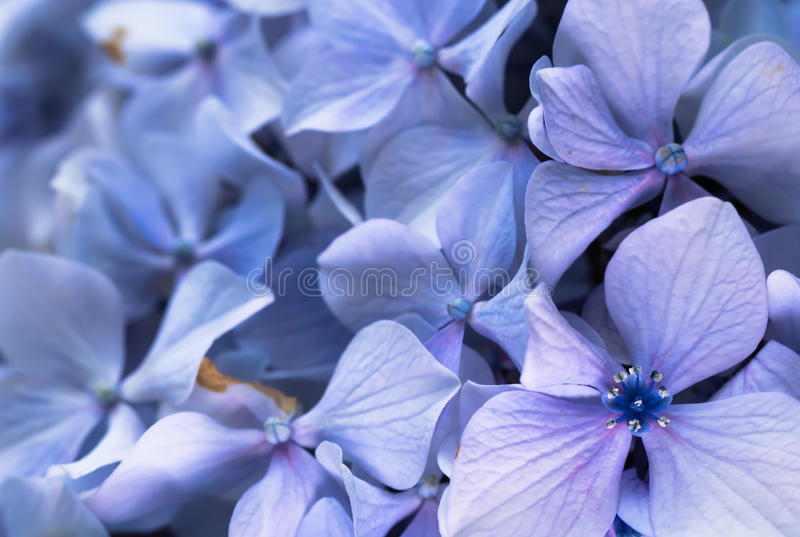 Beautiful macro close up of bunch of blue violet petals of hortensia flower on blurred background texture pattern. Motif royalty free stock photo