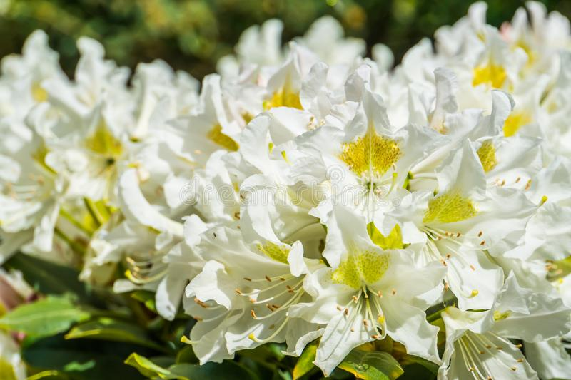 Beautiful macro closeup of white rhododendron flowers, popular plant from Asia, Nature background royalty free stock photography