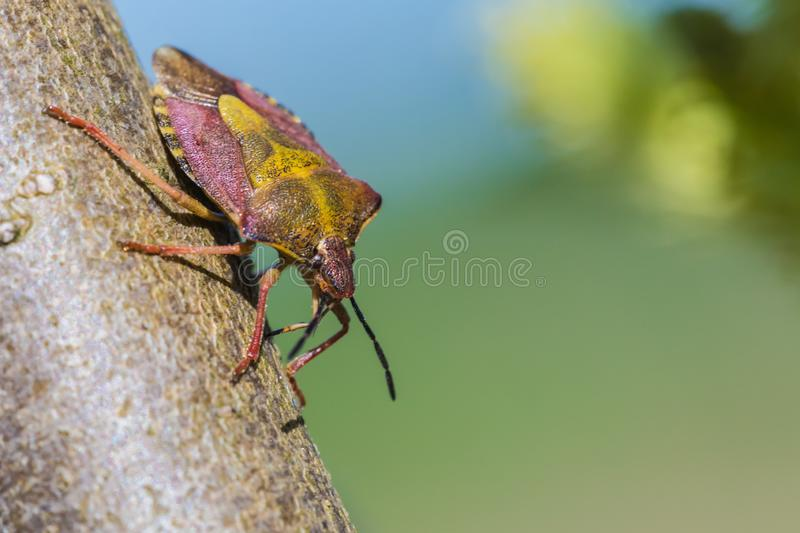 The beautiful macro shot of the alone little bug or the beetle on the branch or twig of willow royalty free stock photos