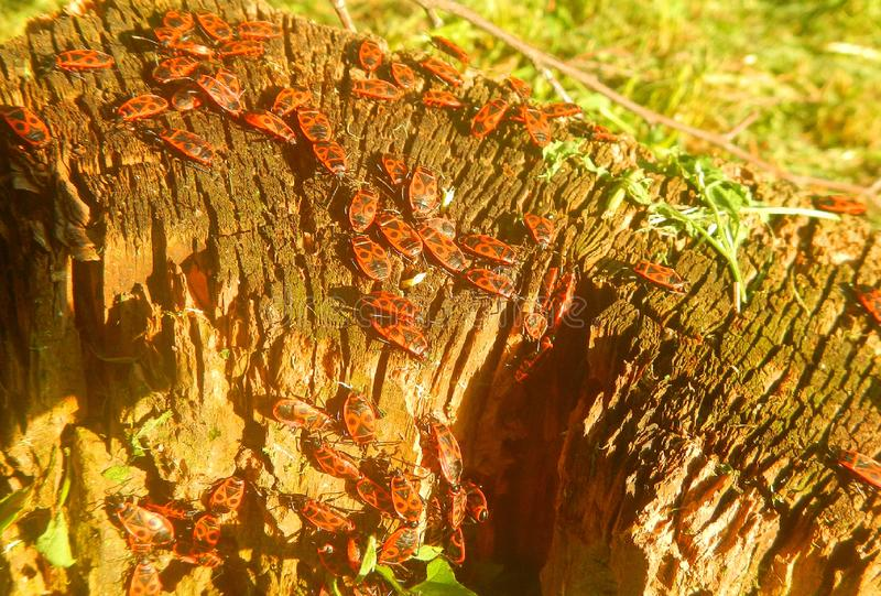 A beautiful macro shot of a crowd of red and black bugs royalty free stock photography