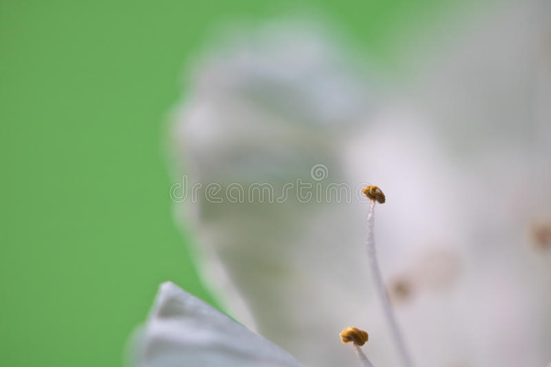 Beautiful macro spring white cherry tree flower pistils as abstract background with copy space. Spring white beautiful flower with pistils of cherry tree in stock photos