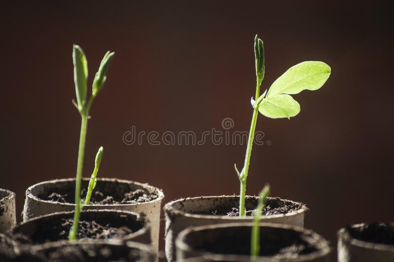Beautiful macro of sweet pea seedling in sunlight royalty free stock images