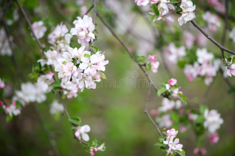 Beautiful macro of white small wild apple flowers and buds on tree branches with green leaves. Spring nature royalty free stock image