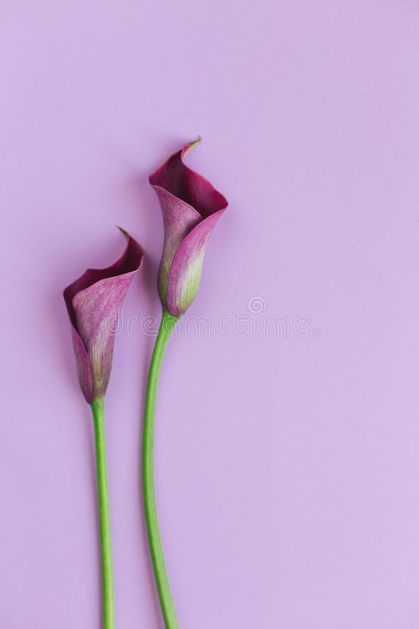 Beautiful magenta calla lilies on pastel purple background.  Place for text. Beautiful magenta calla lilies on pastel purple background. Flat lay. Place for text royalty free stock photo