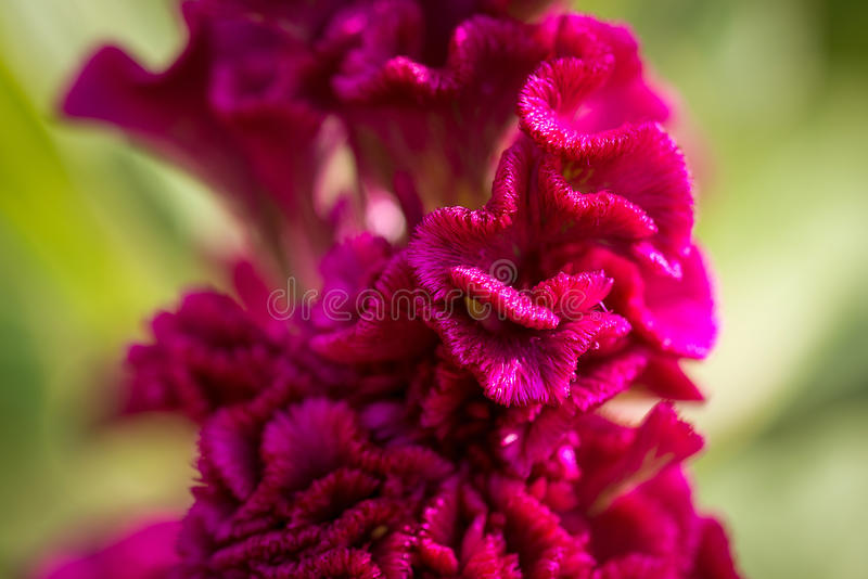 Download Beautiful Magenta Cockscomb Celosia Cristata Flowers Closeup. Vivid Colors And Blue, Green Soft Blurry Background. Stock Photo - Image of botany, botanical: 87962766
