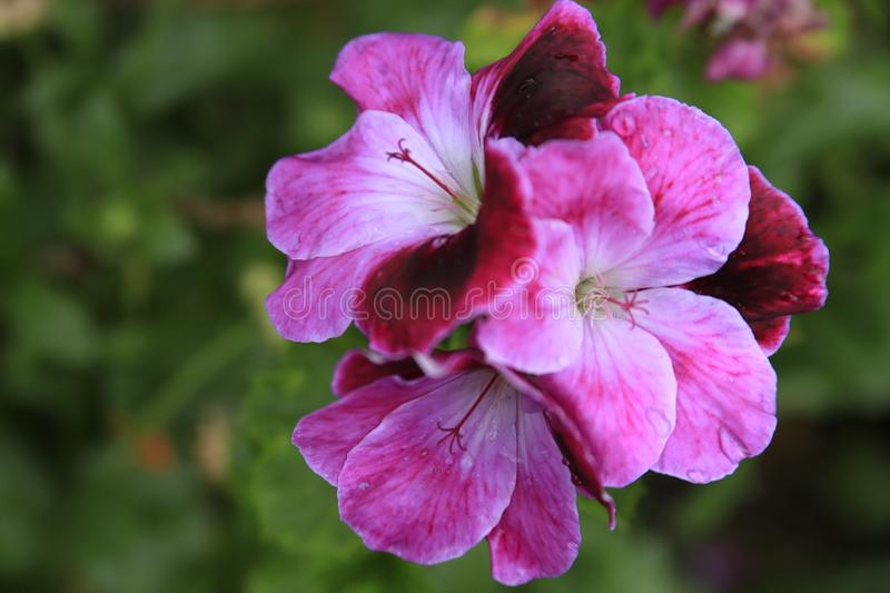 Magenta flowers on a green background royalty free stock photography