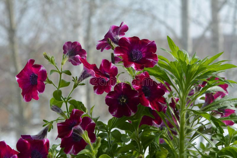 Beautiful magenta petunia flowers and green herb on the blurred background of trees. Balcony greening in march.  royalty free stock images