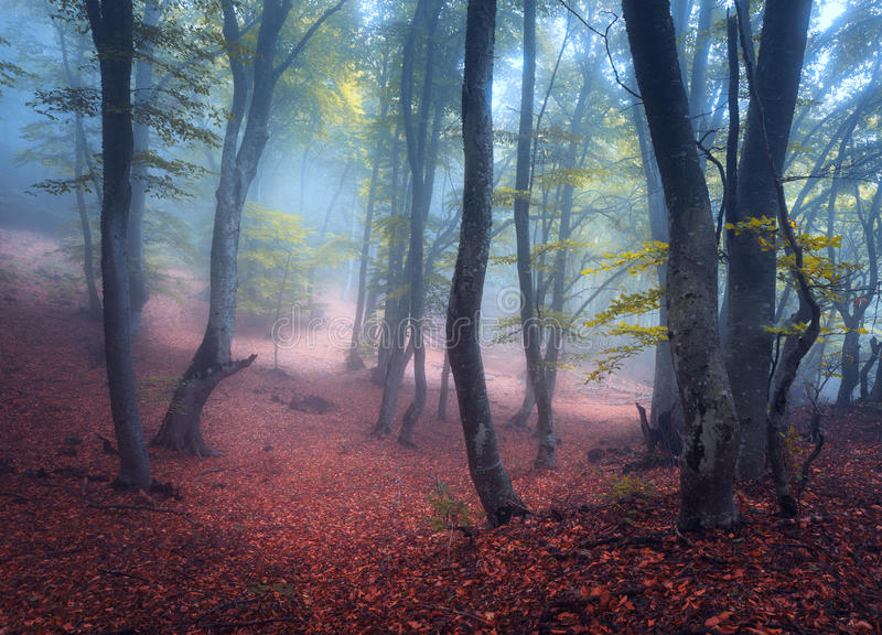 Beautiful magic forest in fog in autumn. Mysterious wood. Fairytale royalty free stock photography