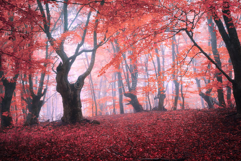 Beautiful magic red forest in fog in autumn. Fairytale landscape stock photo