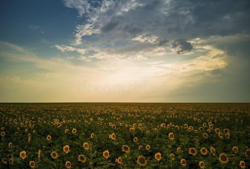 Beautiful magical sunflowers field landscape stock photos