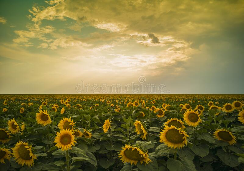 Magical sunflowers field landscape royalty free stock photo